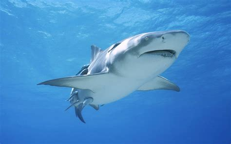 Pics Of White Tiger Wallpapers Sharks Desktop Wallpapers
