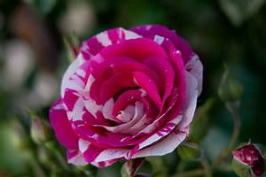 Pink and White Variegated Roses | Fables and Flora