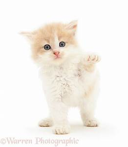 Ginger-and-white Persian-cross kitten photo WP27793