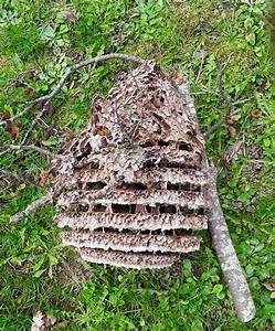 Essaim De Frelon : a quoi ressemble un nid de frelon asiatique mes infos ~ Melissatoandfro.com Idées de Décoration