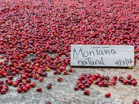 The geisha variety from hacienda la esmeralda first competed and won in the best of panama in 2004, and continued to win for many years after. Seek out Panama's prime sips on coffee and rum trails