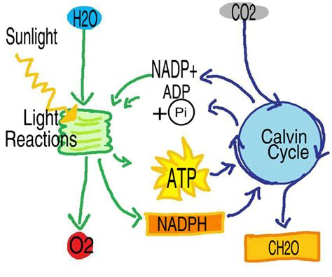 knowledge mechanism  photosynthesis
