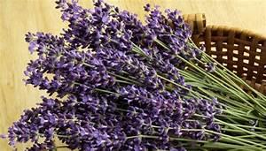 Lavendel Vermehren Wasserglas : lavendel vermehren einfach lavendel z chten aus garten ~ Lizthompson.info Haus und Dekorationen