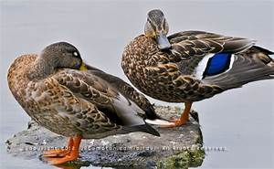 Difference Between Male And Female Mallard Ducks