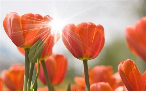 Hd Tulip Picture by Tulips Wallpapers High Quality Free