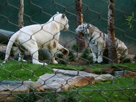 the secret garden las vegas secret garden mirage 2008 picture of siegfried roy s