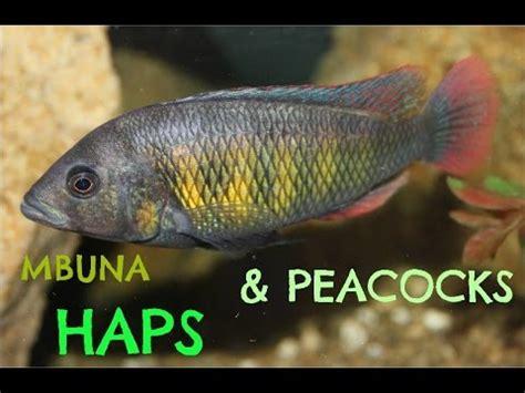 mbuna hap  peacock cichlids  youtube