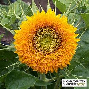 Dwarf Double Sunflower Seeds | Helianthus annuus Seeds ...