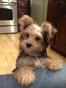 Milo my Morkie   My Style   Pinterest   Dog, Yorkies and ...