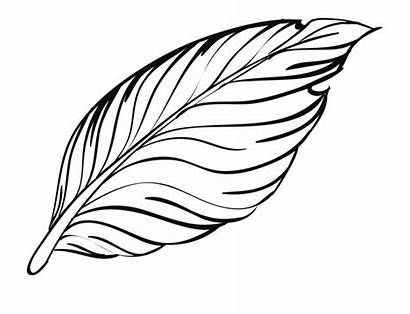 Clipart Feather Outline Feathers Pen Peacock Bird