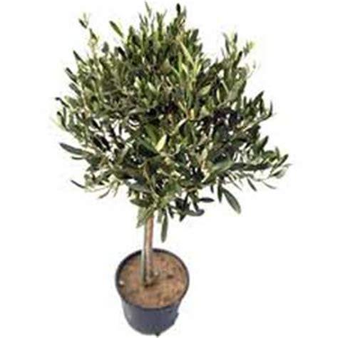 olivier pot de 9 litres demi tige moneden