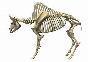 Bison Skeleton Model