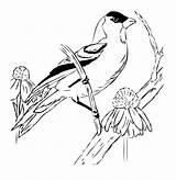 Goldfinch Coloring Bird Sketch Doodle Squidoo sketch template