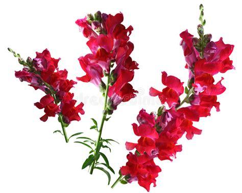 bocca di fiore fiore rosso di bocca di fotografia stock immagine