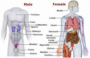Human Body Anatomical Diagram