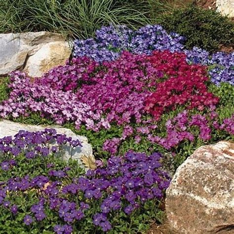 flowers for rockery 3 x aubrieta mixed colours alpine rockery trailing plants perennials 9cm pots