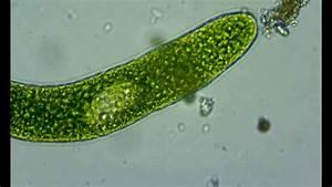 Euglena Sp   U0026 Dinobryon Sp   74