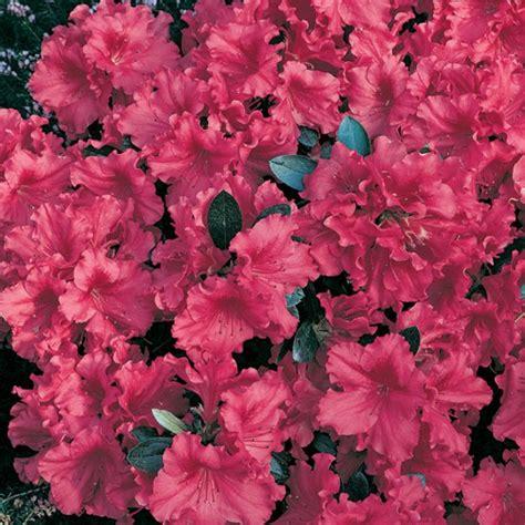 foto de Discover Camellias & azaleas Plants Browse Flower Power