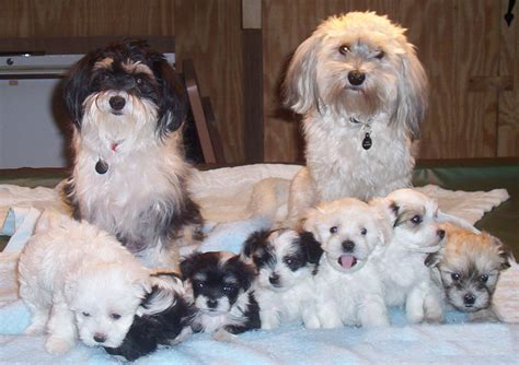 Havanese Puppies Rescue Pictures Information Temperament Characteristics Animals Breeds