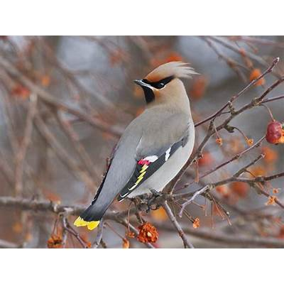 Bohemian Waxwing Bird Wallpapers - HD