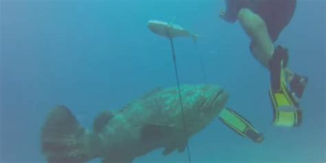 grouper goliath attack scary sharks huffpost