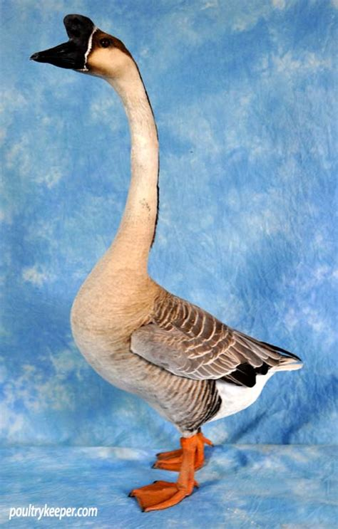 chinese geese  sale