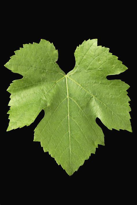 foglie  vite salepepe