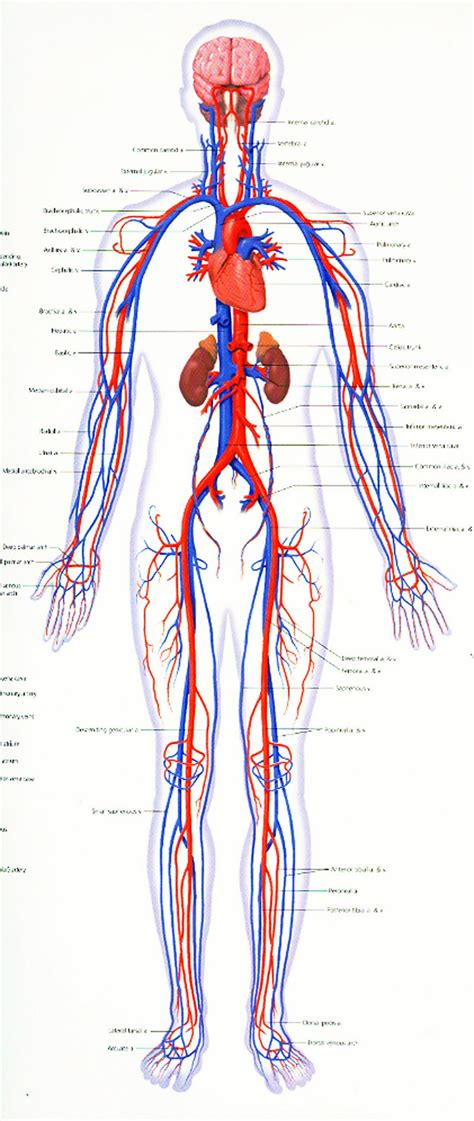 Cardiovascular System Diagrams  Printable Diagram