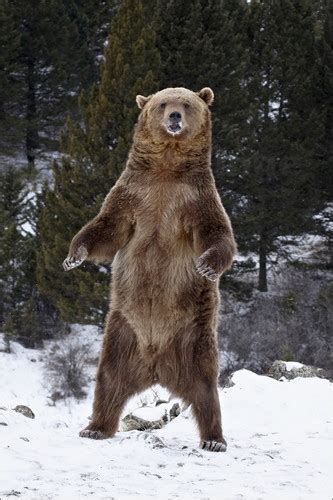 James Hager Grizzly Bear standing in the snow Poster