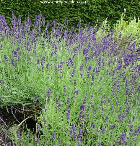 how to care for lavender bushes top 28 lavender bushes care planting growing and care