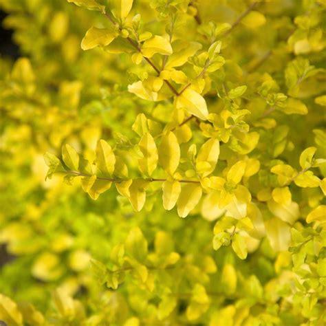Southern Living Plant Collection 3 Gal Sunshine Ligustrum