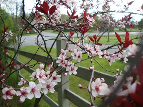 blossoming cherry trees blossoming trees gardening in the lines