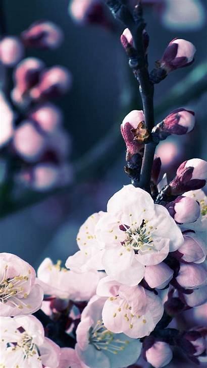 Iphone Blossom Cherry Flower Apple Wallpapers Sakura