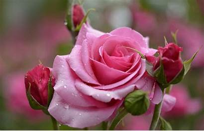 Rose Flower Backgrounds Roses Flowers Wallpapers Desktop