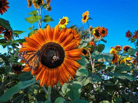 flower sunflower autumn beauty baker creek heirloom seeds