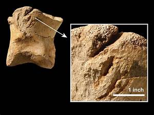 T  Rex Was A Cannibal  Bone Gashes Suggest