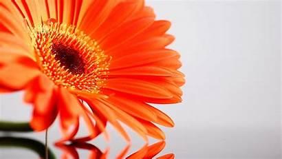Laptop Desktop Wallpapers Flowers Background Sunflower Flower