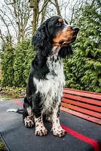 English Springer Spaniel Dog Breed » Info, Pics, & More
