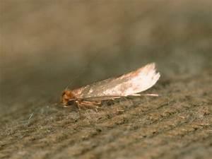 Schädlinge Im Haus : die larven der kleidermotte fressen l cher in die kleidung 4 ~ Eleganceandgraceweddings.com Haus und Dekorationen