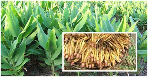 การปลูกกระชาย พืชสมุนไพร - รักเกษตร   Rakkaset.com
