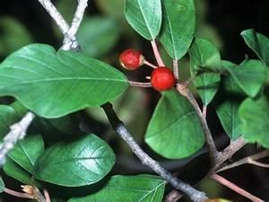Baum Mit Roten Beeren : giftb ume ~ Markanthonyermac.com Haus und Dekorationen
