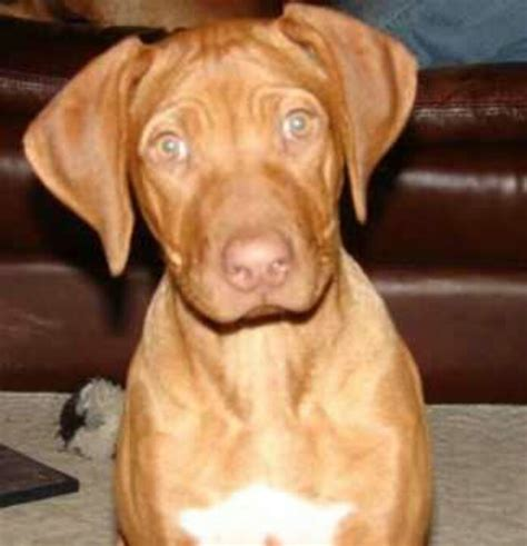 rhodesian ridgeback puppy shedding 1000 images about liver nose ridgebacks on