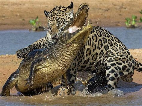 Jaguar Vs Caiman by Jaguar Vs Crocodile Nature Wildlife Animals Jaguar
