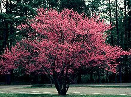 eastern bud tree redbud tree cercis canadensis statue tree