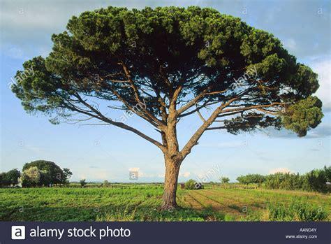 italian pine tree pine tree or italian pine or parasol pine pinus 7609