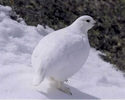 Ptarmigan Tailed Winter Field Bird Audubon