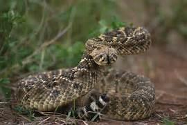 Western Diamondback Rattlesnake Striking western diamondback      Western Diamondback Rattlesnake Striking