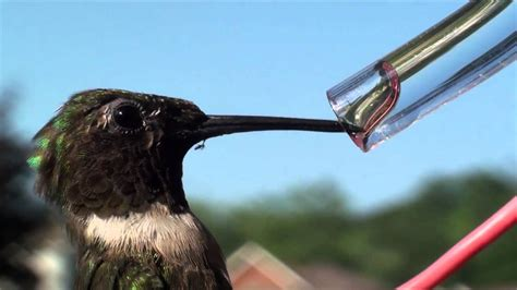 hummingbird s forked tongue youtube