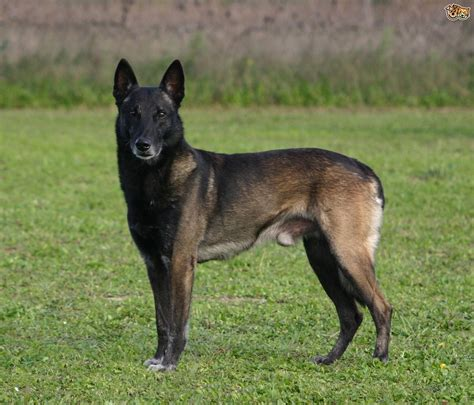 Belgian Malinois Vs German Shepherd Shedding by The Belgium Malinois And Epilepsy Pets4homes