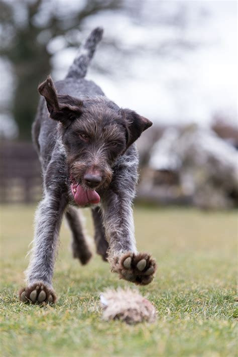 german wirehaired pointer shedding pointers and german wirehaired pointer on